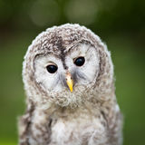 Close up of a baby Tawny Owl. (Strix aluco royalty free stock photography