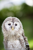 Close up of a baby Tawny Owl. (Strix aluco stock image