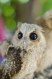Close up of a baby Tawny Owl Royalty Free Stock Image