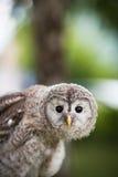 Close up of a baby Tawny Owl. (Strix aluco stock photos