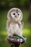 Close up of a baby Tawny Owl Stock Images