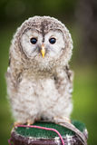 Close up of a baby Tawny Owl. (Strix aluco royalty free stock images