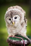 Close up of a baby Tawny Owl Stock Photo