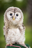 Close up of a baby Tawny Owl. (Strix aluco stock photography