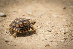 Tortoise. Close up of a baby tortoise walking across sand Stock Photos