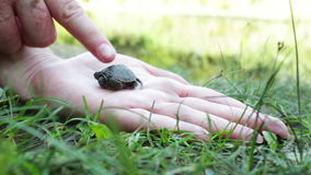 Close up of baby turtle. Little baby turtle lies on the woman's hand on nature.Full HD 1920 x 1080, 25 fps. HD stock footage stock footage