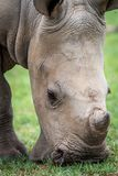 Close up of a baby White rhino stock photo