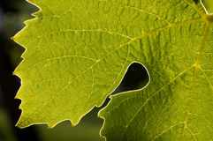 Close-up of back-lit grape leaf Royalty Free Stock Image