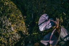 Close-up of the back of a purple leaf with a heart shape royalty free stock photos
