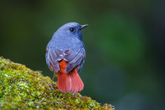 Close up  back side of Plumbeous Water Redstart Royalty Free Stock Image