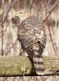 Cooper`s Hawk Perched on a Wooden Fence Royalty Free Stock Photo