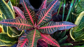 Close up the background of colorful leaves Croton Petra. Selective focus stock photography