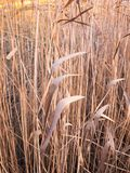 Close up background of golden brown reeds plant. Essex; england; uk Stock Images