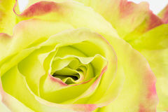 Close up background of green rose Royalty Free Stock Photography