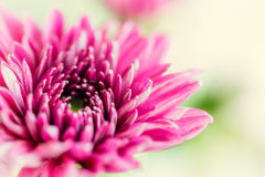Close up background of purple chrysanthemum flower, macro on gre Royalty Free Stock Image