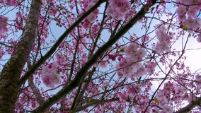 Close up background of sakura tree branches in the park. Sakura tree in the park stock footage