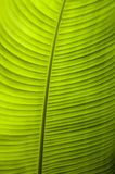 A detailed close up of a backlit banana leaf. royalty free stock photo