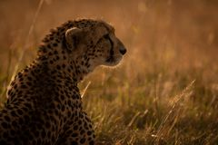 Close-up of backlit cheetah sitting in grass royalty free stock image
