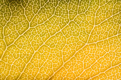 Close up of backlit leaf. Macro image of an autumnal leaf, in the United Kingdom Stock Image