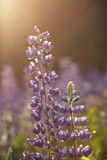 Close-up of a backlit lupine flower Royalty Free Stock Photo