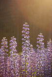 Close-up of backlit lupine flowers Royalty Free Stock Photography