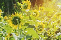 Close-up Backside  Sunflower in Garden morning. Royalty Free Stock Photos