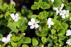 Close up of Bacopa monnieri flower, also called waterhyssop, brahmi, thyme-leafed gratiola, water hyssop, herb of grace, Indian. Close up of waterhyssop in royalty free stock images