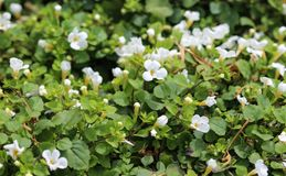 Close up of Bacopa monnieri flower, also called waterhyssop, brahmi, thyme-leafed gratiola, water hyssop, herb of grace, Indian. Close up of waterhyssop in royalty free stock photo