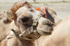 Close up of Bactrian camels in Himalayas. Hunder village, Nubra Royalty Free Stock Photography