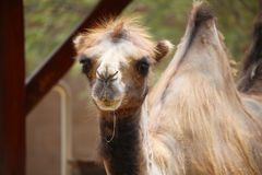 Close up Bactrian two hump camel shedding coat appearing as if sloppily shorn. Close up Bactrian two hump camel staring ahead, having a shedding coat appearing Royalty Free Stock Images