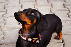 Portrait of a dog puppy of the breed dachshund black and tan on a stone tile background stock photo