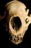 Close Up of Badger Skull