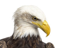 Close-up of a Bald eagle - Haliaeetus leucocephalus Royalty Free Stock Photo