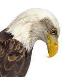 Close-up of a Bald eagle - Haliaeetus leucocephalus Stock Images