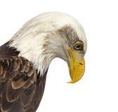 Close-up of a Bald eagle - Haliaeetus leucocephalus Stock Images