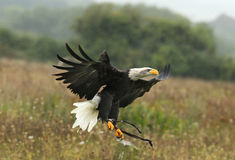 Close up of a Bald Eagle. Landing on a falconer's glove in the rain Royalty Free Stock Image