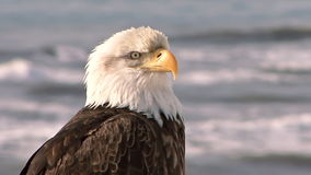 Close up of bald eagle with sea in the background stock video
