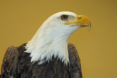 Close up of Bald Eagle Royalty Free Stock Photography