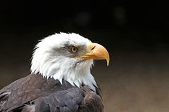 Close up of a Bald Eagle. Staring against a blurred dark background stock photo