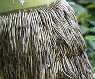 Close up of bamboo with aged root in the  park. Close up of bamboo root Royalty Free Stock Image