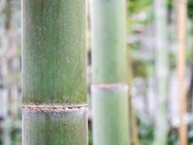 Close-up of a bamboo cane with blurred bamboo canes in the background stock photo