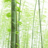 Close-up bamboo and Climbing vine in asian forest. With morning fog weather Stock Photo