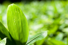 Close up of bamboo grass leaf Stock Image