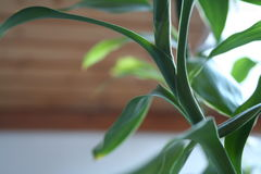 Close up of bamboo leafes in a room. In  daylight Royalty Free Stock Photography