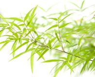 Close up of bamboo leaves Royalty Free Stock Photo