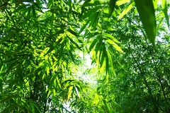 Close up bamboo leaves green planted in the garden,BAMBUSA BEECH. EYANA MUNRO BEECHEY BAMBOO, SILKBALL royalty free stock photos