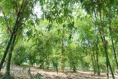 Close up bamboo leaves green planted in the garden,BAMBUSA BEECH. EYANA MUNRO BEECHEY BAMBOO, SILKBALL royalty free stock photo