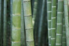 Close up of bamboo stalks