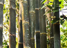 Close up of bamboo stalks in the forest by the creek. Bamboo forest is common in Northern Thailand mountainous area.The plant is natural resource of material Royalty Free Stock Photography
