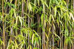 Close up of bamboo stalks. And leaves Stock Photo